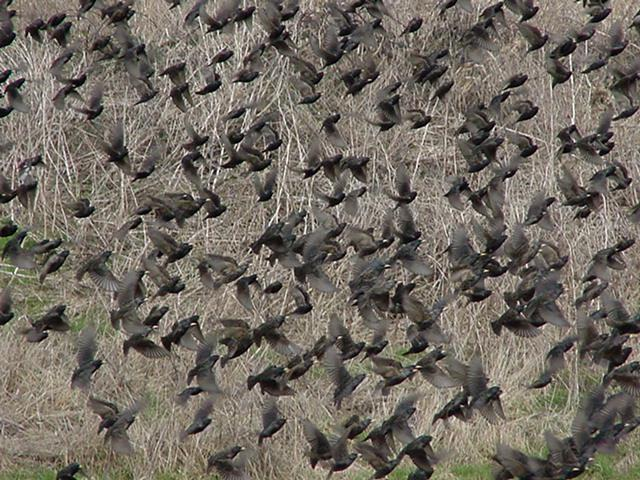 http://www.bioquest.org/lifelines/starlings.jpg